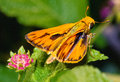 Fiery Skipper Royalty Free Stock Images - 53765549
