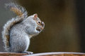 Squirrel Stock Images - 53795454