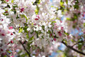 Apple Tree Blooming Royalty Free Stock Photos - 53804488