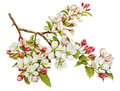 Botanical Watercolor With Apple Tree In Blossom Stock Photo - 53822090