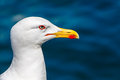 Seagull Closeup Royalty Free Stock Images - 53827349