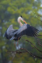 Great Blue Heron Spreading Wings. It Is The Largest North Americ Royalty Free Stock Images - 53852929