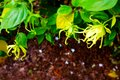 Poetic Study Of Ylang Ylang Plant And Flowers Royalty Free Stock Photography - 53891117