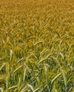 Wheat Harvest Field Royalty Free Stock Photography - 5394727