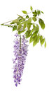 Wisteria Stock Photo - 53921800