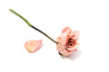 Dried Roses Isolated Stock Images - 53941304