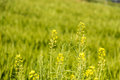 Rape Flowers Royalty Free Stock Photography - 53956267