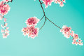 Sakura Flower Or Cherry Blossom Stock Image - 53974741