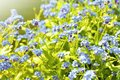 Forget Me Not Plant Stock Photo - 53980820