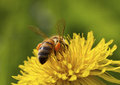 Bee On The Flower. Royalty Free Stock Image - 53981396
