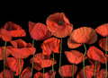 Red Poppies Stock Photos - 53982733