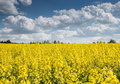 Rapeseeds_canola_field Royalty Free Stock Photography - 53989597
