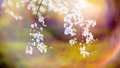 Blooming Tree Flowers And Lens Flare Royalty Free Stock Photo - 53991755