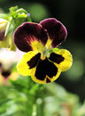 Pansy Stock Photography - 5404432
