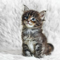 Small Gray Maine Coon Kitten On White Background Fur Royalty Free Stock Images - 54015639