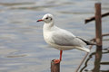 Sea Gull Stock Photos - 54020223