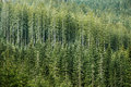 Green Coniferous Forest With Old Spruce, Fir And Pine Trees Royalty Free Stock Photography - 54035347