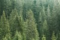 Green Coniferous Forest With Old Spruce, Fir And Pine Trees Royalty Free Stock Photo - 54035365