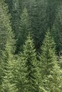 Green Coniferous Forest With Old Spruce, Fir And Pine Trees Royalty Free Stock Images - 54035389