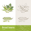 Broad Beans Stock Images - 54052154
