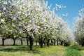Blossoming Cherry Trees Stock Photo - 54059480