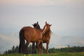 A Pair Of Horses Showing Affection Royalty Free Stock Photo - 54072155