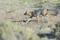 Grey Fox Hunting On The Grass Stock Photo - 54081420