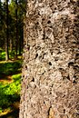 Spruce Trunk Royalty Free Stock Photo - 54089815