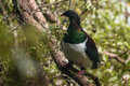 New Zealand Wood Pigeon Royalty Free Stock Photography - 54090167
