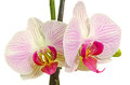 Pink Branch Orchid  Flowers With Green Leaves, Orchidaceae, Phalaenopsis Known As The Moth Orchid, Abbreviated Phal. Royalty Free Stock Image - 54108346