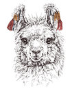 Realistic Sketch Of LAMA Alpaca,  On White Royalty Free Stock Photography - 54109567