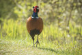 Male Pheasant Stepping Stock Photos - 54127823