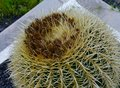 The Golden Ball Or Barrel Cactus Stock Images - 54133364