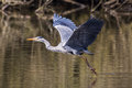 Grey Heron Royalty Free Stock Image - 54140576