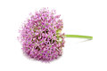 Blooming Purple Allium, Onion Flower Isolated On A White Stock Photography - 54149072