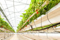 Culture In A Greenhouse Strawberry And Strawberries Royalty Free Stock Photo - 54150955