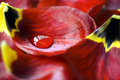 Tulip With Water Drop Stock Images - 54172824