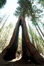 Sequoia Forest Royalty Free Stock Photo - 54187755