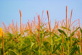 Corn Field With Blue Sky Royalty Free Stock Photo - 5428345