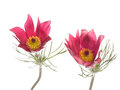 Two Flowers Pulsatilla Patens Royalty Free Stock Image - 54209996