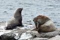 Rookery Northern Sea Lion. Kamchatka Peninsula, Avachinskaya Bay Stock Images - 54222894