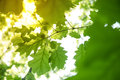 Green Fresh Oak Leaves With Sunlight Stock Images - 54269034