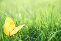 Yellow Butterfly In Green Grass Background Stock Photography - 54277682