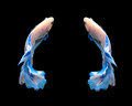 White And Blue Siamese Fighting Fish, Betta Fish Isolated On Bla Stock Photos - 54288693