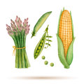 Set Of Watercolor Vegetables. Stock Image - 54293581