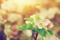 Spring Tree Flowers Blossom, Bloom In Warm Sun. Vintage Royalty Free Stock Photo - 54297405