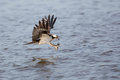 Osprey Flying With Talons Out Royalty Free Stock Photography - 54315037
