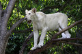 White Lion Stock Image - 54320361