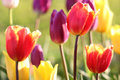 Colorful Tulips Royalty Free Stock Image - 54320736