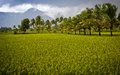 Paddy Field Royalty Free Stock Photography - 54330307